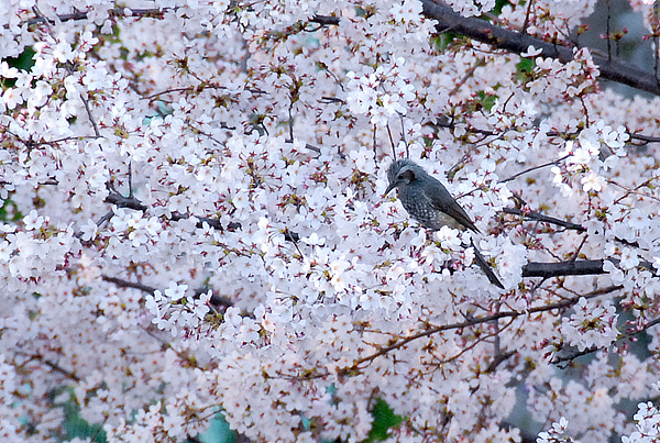 桜と鳥02