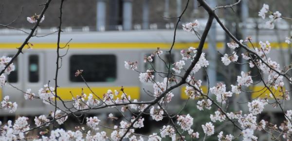 桜20080329-3