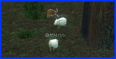 白カワイノシシ