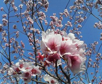 日高村総合運動公園の桜