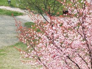 '08札幌のサクラ
