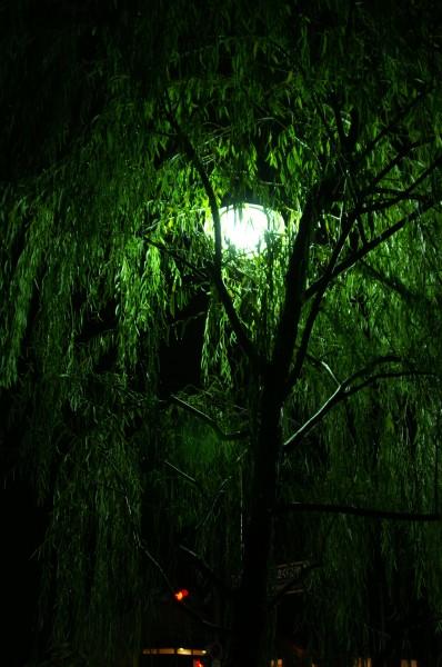 night-willow