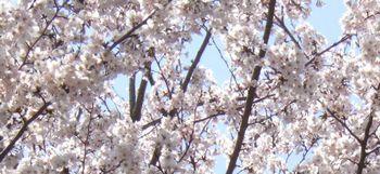 08桜 (2)