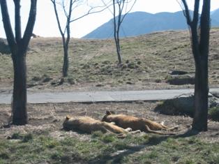 ライオン睡眠
