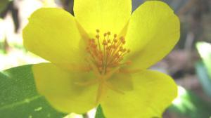 黄色いポーチュラカ。