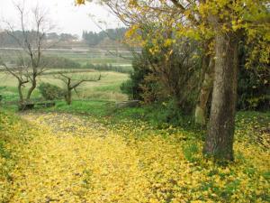 葉を落とす 大銀杏の木