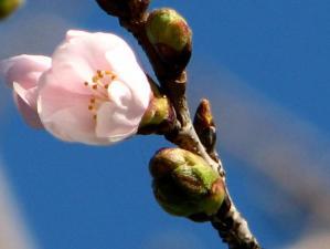 07'桜 咲く