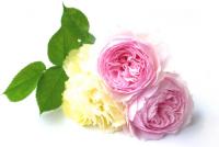 薔薇 バラ ばら コミュニティ