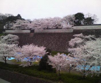 石川門のさくら