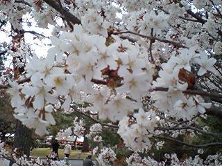 京都御所の桜(アップ)