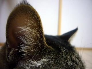 ミュウの耳