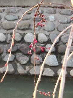 070311しだれ桜