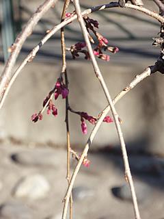 070314しだれ桜