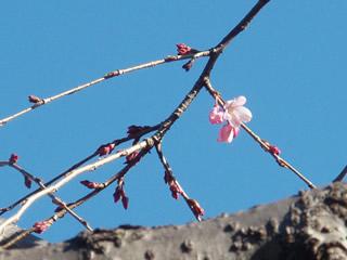 070314しだれ桜開花