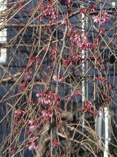 070314しだれ桜咲き始め