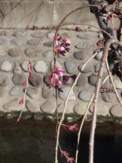 070318しだれ桜