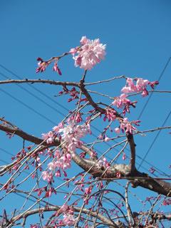 070318しだれ桜別の木