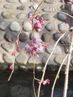 070320しだれ桜