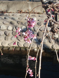 070323しだれ桜