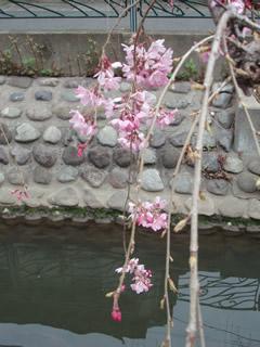 070327しだれ桜