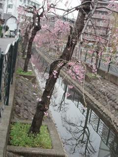 070327しだれ桜並木