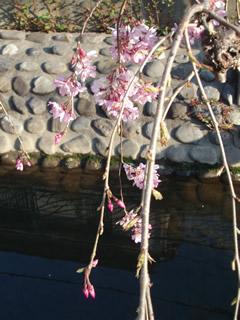 070328しだれ桜