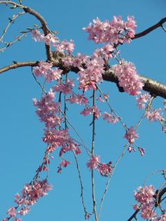 070328しだれ桜満開