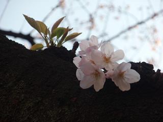 070328木の幹から直接開花
