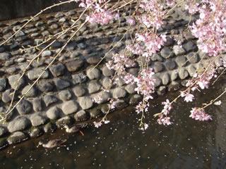 070329しだれ桜