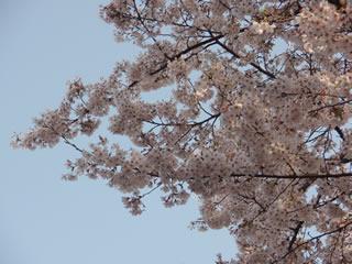 070401満開の桜