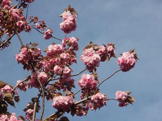 070414八重桜