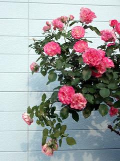070513薔薇1