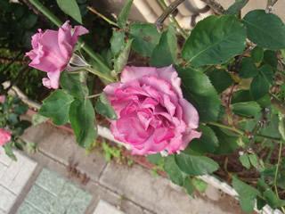 070513薔薇2