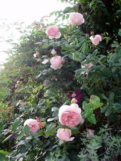 070513薔薇3
