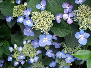 070603紫陽花1