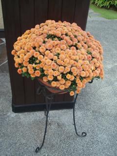 071021小ちゃい菊