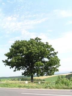 セブンスターの木2