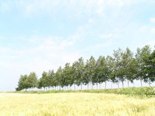 麦畑と木立