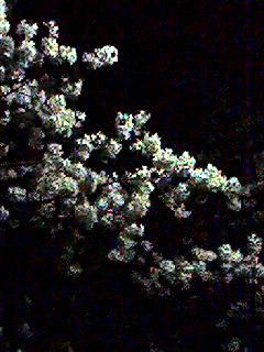 夜桜060330