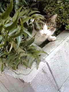 植え込み猫